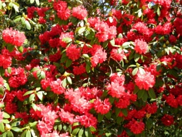 Red Rhododendron