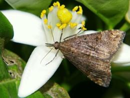 Moth on orange blossom