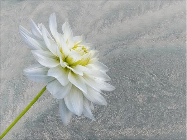 Frosty Flower by Leedslass1