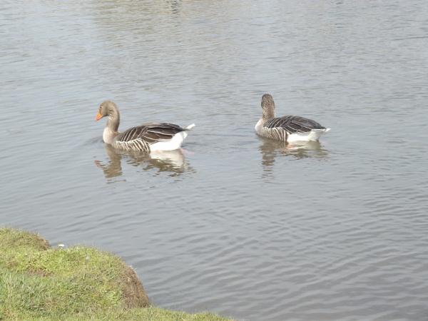 Ducks by kearasmith