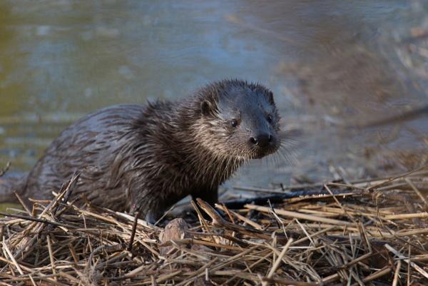Otter Cub by kfjmiller