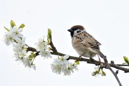 Tree Sparrow on Plum Blossom