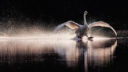 Landing of Whooper Swan