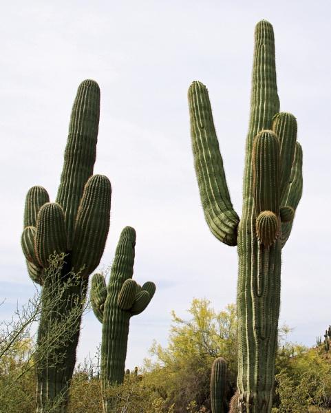 Saguaro cacti by Janetdinah