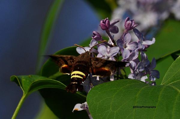 Hummingbird Moth on Lilac bush by kgray2
