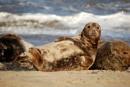 Horsey Seal in Norfolk