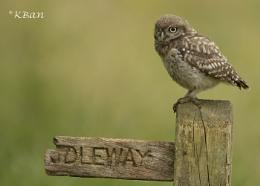 Little Owl....................Wild