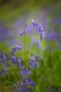 bluebell by PLCimagery