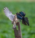 Kestrel/Magpie by PLCimagery