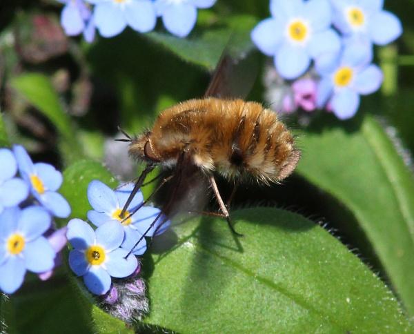 Bee-fly by oldgreyheron