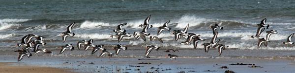 Oystercatchers in flight by oldgreyheron