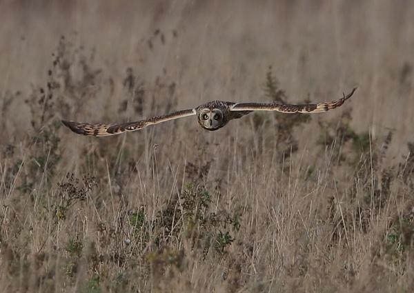 Hunting Shortie by NeilSchofield
