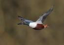 Male Shoveller in Flight by NeilSchofield