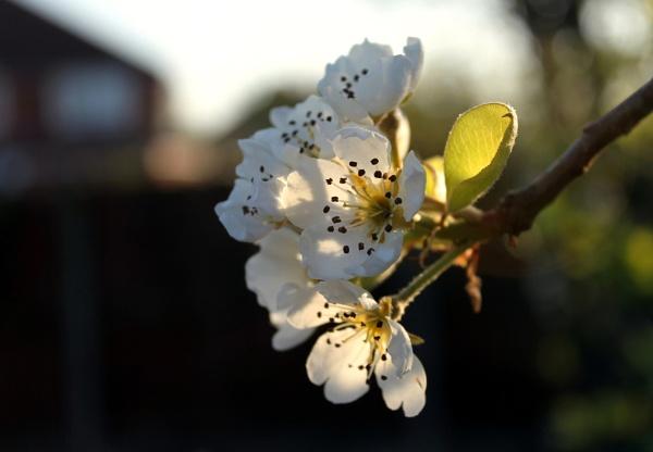 Pear Blossom by helenlinda