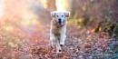 Happy Golden Retriever by SurreyHillsMan