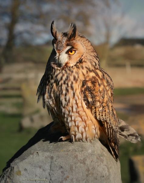 Long eared owl. by mex
