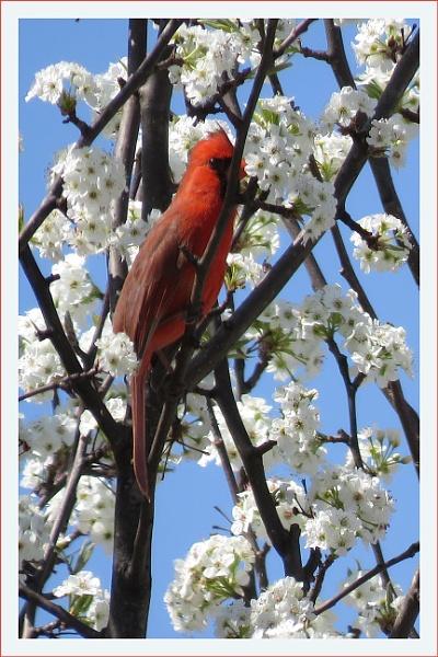 Cardinal & Cherry blossom by prabhusinha
