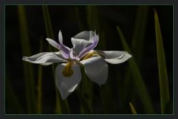 Lilliaceae flower