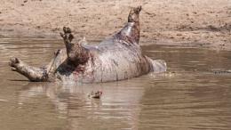 Nile Crocodile feast