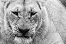 Lioness portrait by rontear