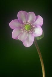 Pink Hepatica