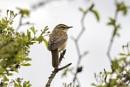 Sedge Warbler by SteveMoulding