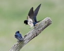 Swallows 1a by PIXELLENCE