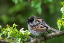 Reed Bunting (Emberiza schoeniclus) by Ray_Seagrove