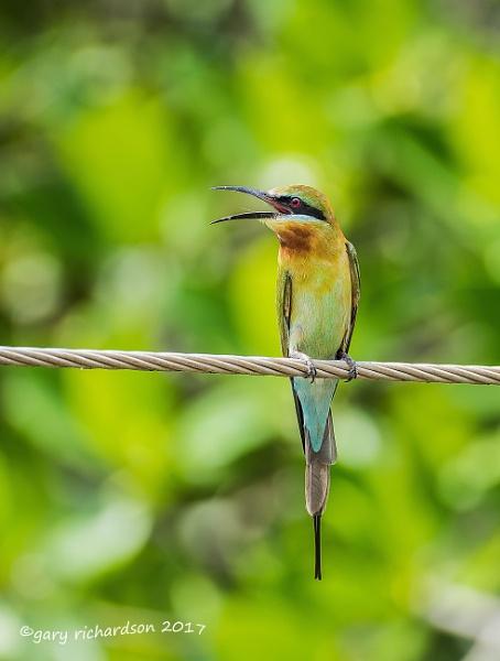 blue-tailed bee- eater by djgaryrichardson