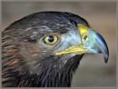 Golden Eagle by PhilT2