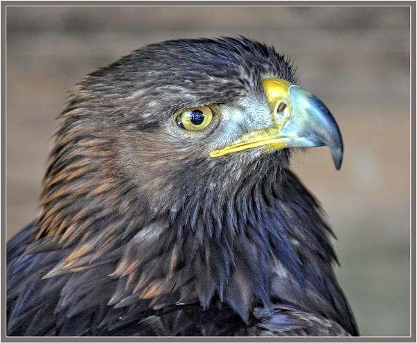 Golden Eagle 2 by PhilT2