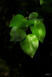 Kawakawa - an edible peppermint-flavoured native plant, usually full of holes from hungry insects.