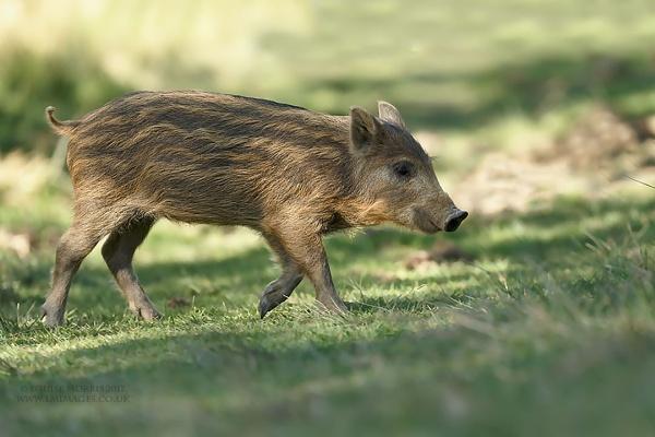Hoglet? Piglet? CUTIE!! by Louise_Morris