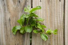 fance plant