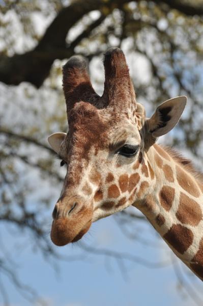 Giraffe by kirkoid