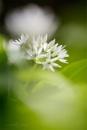 Wild Garlic - Allium ursinum by Mendipman