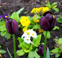 'Black' Tulips