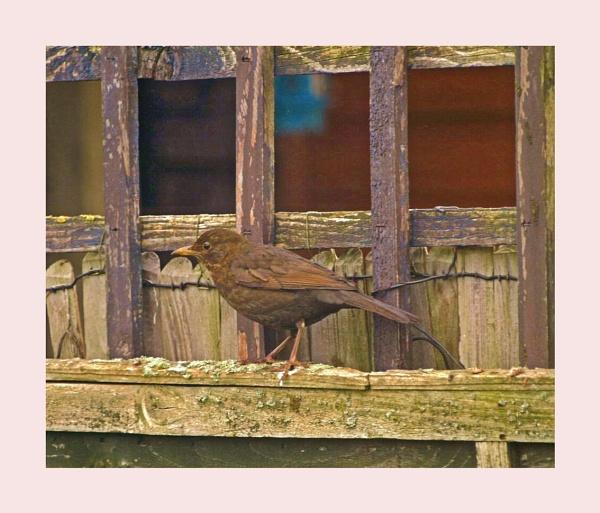 Blackbird by kojack