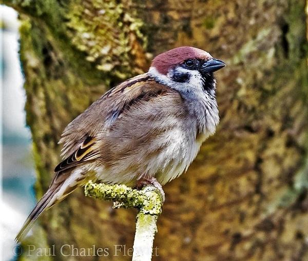 Tree Sparrow by Paulspix
