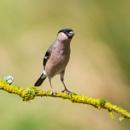 Female Bullfinch by Philpot