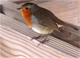 Robin Under The Table