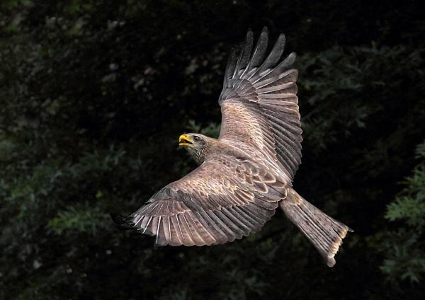 Yellow billed kite by johnke