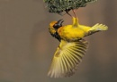 A Southern Black Masked Weaver' by johnke