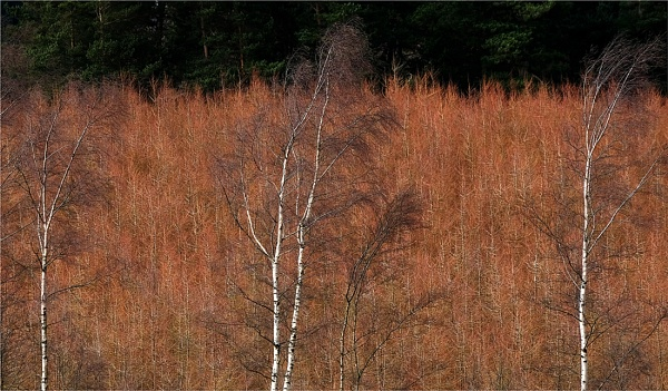 Birches by whatriveristhis