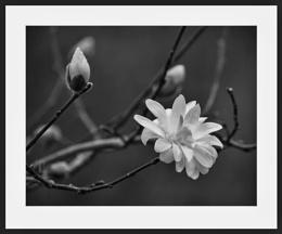 Stellata Chrysanthemum