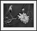 Stellata Chrysanthemum by taggart