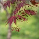 Maples are Blooming by taggart