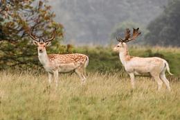 Fallow Deer--Dama dama