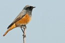 Redstart by bobpaige1