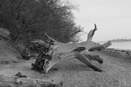 dead Tree by the estuary, unedited & original